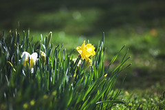 spring vibes (viewsfromthe519) Tags: nature bokeh spring flowers bloom stthomas ontario canada yellow green daffodils