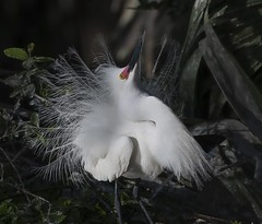 Breeding Plumage and in the Pink  ~  Snowy Egret (Christine Fusco) Tags: red snowyegret breedingplumage pinklores feathers plumage display florida wader nesting nature southern nikond500 nikkor200500 naturephotographer birdphotographer christinefusco