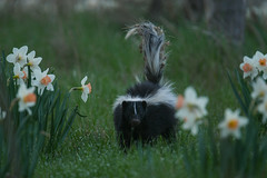 White Striped Burrtail (Rob E Twoo) Tags: