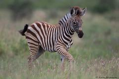 Zebra Foal (leendert3) Tags: leonmolenaar southafrica krugernationalpark wildlife nature burchellszebra mammals ngc coth coth5 npc