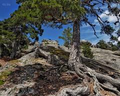 Raíces vs Rocas (rosslera) Tags: gf7 panasonic lumix color montaña viaje viajar excursión caminata árbol raíces rocas nature naturaleza spain españa soria castroviejo