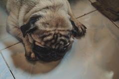 Brain Folds (santi.gual) Tags: dog pug pugs dogs pets pet nikon d5000 yongnuo 35mm 50mm f2 iso 400 light shadows folds floor