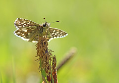 Grizzled Skipper - Michael Bird (Michael R Bird) Tags: grizzledskipper skipper stauntonquarry butterfly canon f28l