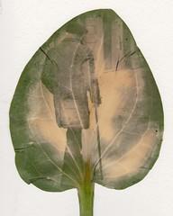 Chlorophyll Print #2