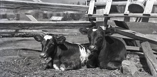 Two Calves from Vintage Glass Negative