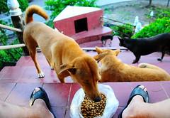 ,, Pecking Order ,, (Jon in Thailand) Tags: dogs dog k9 k9s thespirithouse themonkeytemple jungle thejungle dogears dogtail dogeating happydogs funnydogs humanlegs humanfeet sandals dogkibble nikon nikkor d300 175528 green burgundy burgundytile pecking orderz peckingorder packofdogs 4dogs mama rocky littlestubby legsthezoomer 2pencil littledoglaughedstories