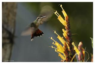 Colibri à gorge rubis; Archilochus colubris;Ruby throated Hummingbird;Colibri Gorgirrubi;