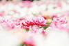 Tulip (Jennifer 真泥佛) Tags: tulip 鬱金香 flower carlzeiss sonya7r2