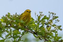 Clarke_180509_3269.jpg (www.raincoastphoto.com) Tags: birds dendroicapetechia birdsofbritishcolumbia yellowwarbler birdsofcanada birdsofnorthamerica warblers britishcolumbia canada
