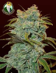 Ice-Wreck (Watcher1999) Tags: ice wreck cannabis seeds thc strains medical marijuana growing plant smoking weed ganja legalize it