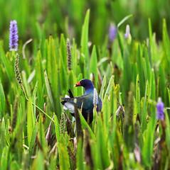 05-12-18-0017298 (Lake Worth) Tags: animal animals bird birds birdwatcher everglades southflorida feathers florida nature outdoor outdoors waterbirds wetlands wildlife wings