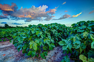 Cotton plants and clouds