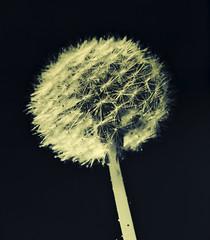 Dandelion - variations II (PHOTOGRAPHY Toporowski) Tags: umwelt spring grün schärfentiefe eco garden umweltschutz green bokeh makro blumen existinglight nature light macro flower garten blossom natur frühling eschweiler nrwnordrheinwestfalen deutschland deu
