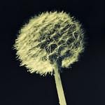Dandelion - variations II thumbnail
