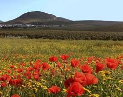 Primavera. Alameda (Málaga) Andalucía. (lameato feliz) Tags: alameda naturaleza paisaje amapolas rojo