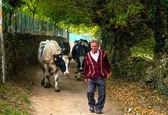 Granjero / Farmer (López Pablo) Tags: farmer people cow village galicia spain wayofsaintjames nikon d7200