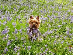 Camouflaged (katy1279) Tags: yorkshireterrieryorkiecutedogbluebellswoodlandcamouflage