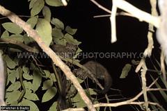41247 Common Palm Civet (Paradoxurus hermaphroditus) juveniles in a tree at night, Kuala Selangor Nature Park, Selangor, Malaysia. IUCN=Least Concern. (K Fletcher & D Baylis) Tags: fauna mammal wildlife viverridae civet civetcat commonpalmcivet asianpalmcivet paradoxurushermaphroditus night nocturnal leastconcern kualaselangornaturepark selangor malaysia asia april2018