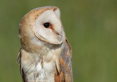 Barn Owl 18pg6974 (Pauline & Ian Wildlife Images) Tags: barnowl tytoalba