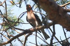 Chaffinch (Moni'cam ツ) Tags: chaffinch bokfink fringillacoelebs
