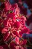 Blush! (The Frustrated Photog (Anthony) ADPphotography) Tags: buyukpark category eskisehir flora turkey macrodreams macro sigma105mmmacro canon70d canon tree blossom springtime spring morning sunlight petals flower nature natural outdoor closeup closefocus narrowdepthoffield dof