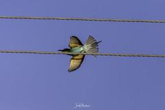 Taking off (iosif.michael) Tags: nikon tamron bird biodiversity ecosystem sky flight blue cyprus nature naturallight outdoor wildlife