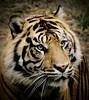 Sumatran Tiger (Thanks for 6M+ views! Pix.by.PegiSue) Tags: sumatrantiger bigcat predator allrightsreservedcopyrightpixbypegisue