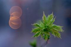 Érable 1 (Patrice StG) Tags: pentax pentaxart gimp cosinon55mmf21 macro twilight dusk brunante crépuscule lampadaire bokeh québec spring printemps nuit night