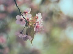 Life feels sweet when looking at spring blossoms (A_Peach) Tags: frühling park projectorlens flower plant nature availablelight vintagelens manualfocus adaptedlens dof bokeh mft m43 lumix panasonic microfourthird micro43 apeach anjapietsch panasoniclumixgx80 spring blossoms refittedlens zeissikonsupertalon90mmf25