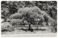 Tree of Love #tree #trees #boom #bomen #nature #natuur #spring #lente #lovephotography #photography #photographer #fotograaf #fotografie #outside #travel #blacknwhite #bnw #bw #bws #noir #monochrome #zwartwit #bnwphotography #blackandwhite (Chantal vander Reijden) Tags: blacknwhite zwartwit boom nature lente tree bnw trees bomen spring lovephotography fotografie natuur fotograaf blackandwhite bw outside monochrome noir bnwphotography photographer travel photography bws