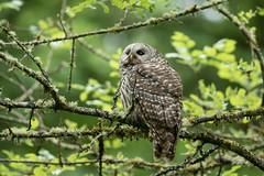 05202018Barred Owl FU5A1962 (Steven Arvid Gerde) Tags: owl