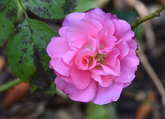 DSC_9941 Pink Rose (PeaTJay) Tags: nikond750 sigma reading lowerearley berkshire macro micro closeups gardens outdoors nature flora fauna plants flowers rose roses rosebuds
