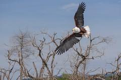 Aigle Pygargue 2 (colibry68) Tags: oiseaux kenya rift baringo aigle pygargue déployé