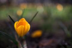 38/365 - Bunhill Fields (Spannarama) Tags: 365 february flower crocus bokeh grass bunhillfields ec1 london uk cimko28mm 28mm manualfocus
