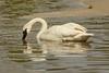Feeding Swan (ChicagoBob46) Tags: trumpeterswan swan bird yellowstone yellowstonenationalpark nature wildlife coth coth5 ngc npc