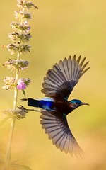 Flight mode activated (MarzookCasim) Tags: flight srilanka bird canon photography wildlife wild sunbird