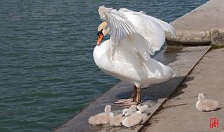Sous les ailes protectrices de maman