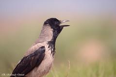 Cornacchia grigia _006 (Rolando CRINITI) Tags: cornacchiagrigia uccelli uccello birds ornitologia periprava tulcea ultimafrontiera deltadeldanubio romania natura