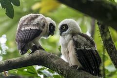 Spectacled Owl (fernaabs) Tags: spectacled owl pulsatrix perspicillata oropopo búhodeanteojos strigiformes strigidae fernaabs burgalin avesdecostarica
