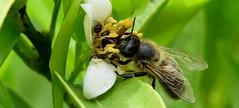 La fleur affiche complet (bernard.bonifassi) Tags: bb088 06 alpesmaritimes 2018 mai insecte counteadenissa canonsx60 macro abeille