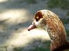 Egyptian goose head 2 (Artemis1947) Tags: sussex sheffieldpark nationaltrust animals birds geese egyptiangeese birdhead closeup