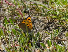 Small copper (@JBOccyTherapy) Tags: green hairstreak comma holly blue speckled wood orange tip small copper veined white butterfly butterflies nature wildlife woodland meadow insects flowers walk ravenswood group suffolk