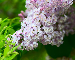 Fragrant (Chancy Rendezvous) Tags: chancyrendezvous davelawler blurgasm lilac syringavulgaris flowers blossom bush syringa