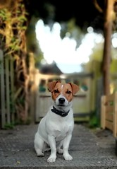 Jack Russell (nik.golding) Tags: jack jackrussell puppy puppies pose poser wood steps brown white dog paw paws ears nose eye eyes leaves blur depthoffield depth field art arty leg legs cute nice looking good explore explored