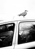 Padstow, Cornwall (Peter du Gardijn) Tags: seagull bird man sleep sleeping car husband couple blackwhite streetphotography contrast dreaming dream