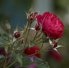 Red Red Rose (Scott 97006) Tags: red rose flower nature bokeh pretty beauty
