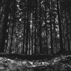 Lower../Rolleicord V (Jonas.Nilsson) Tags: forest woods spruce spring rolleicord rolleicordv fomafilm foma fomapan100 mediumformat mf filmphotography film filmisnotdead lowpov squareformat squares analog analogphotography monochrome 6x6 120film