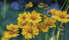 Joy of Yellow (Southern Darlin') Tags: flower flowers blossom bloom bokeh yellow green blue nature naturephotography wildflowers wild park photography photo color canon hike colorful