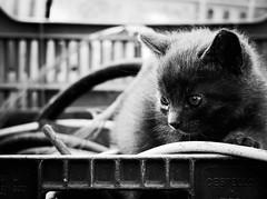 3793 - Tito (Diego Rosato) Tags: tito gatto cat gattino kitten animale animal fuji x30 rawtherapee bianconero blackwhite