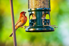 House Finch '18 (R24KBerg Photos) Tags: canon finch songbird bird nc northcarolina feathers wings beak red spring animal nature housefinch 2018 birdfeeder food eating winterville seeds